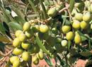 arbosana